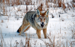 Man Attacked By Coyote on Long Valley Trail