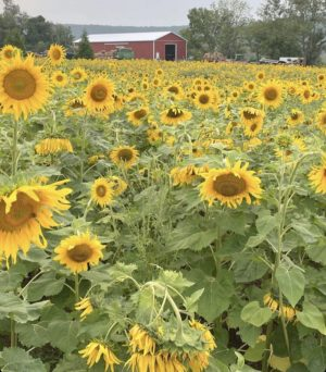 A hallmark of Ort's summer seasons were the gorgeous fields of sunflowers.
